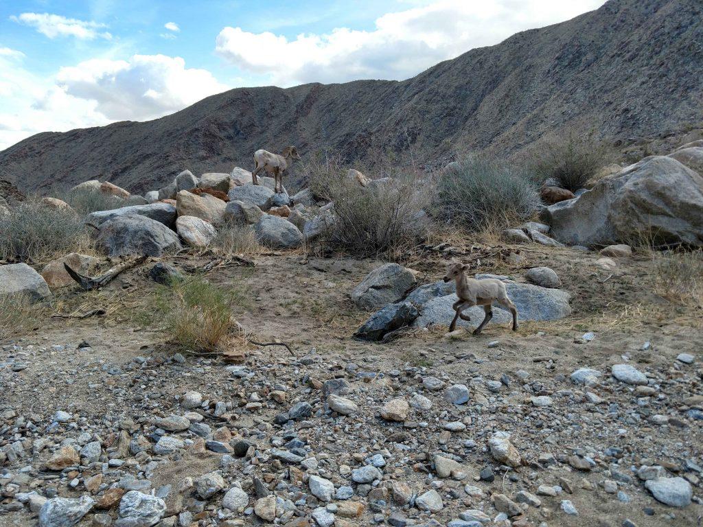 Desert bighorn Lambs