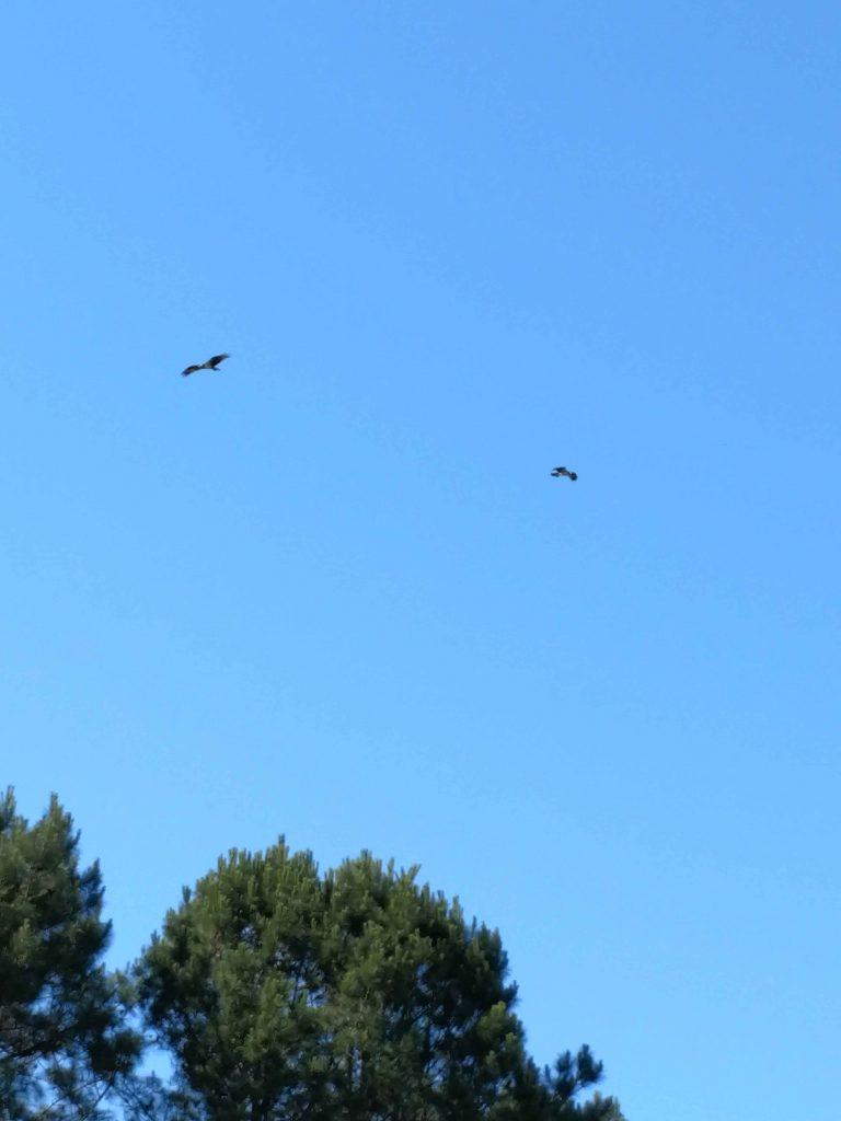 Ospreys North Carolina