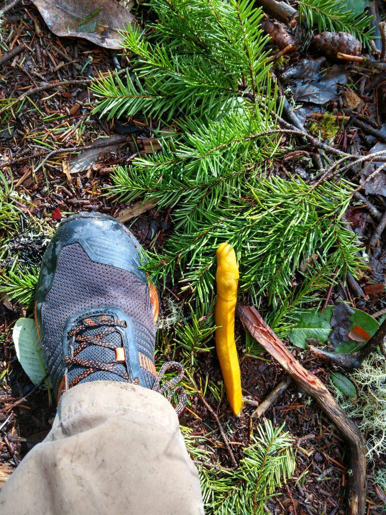 Banana Slug hike in purisima creek redwoods