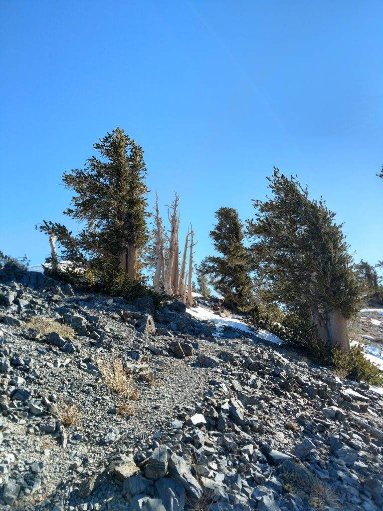 telescope peak bristlecone pine forest
